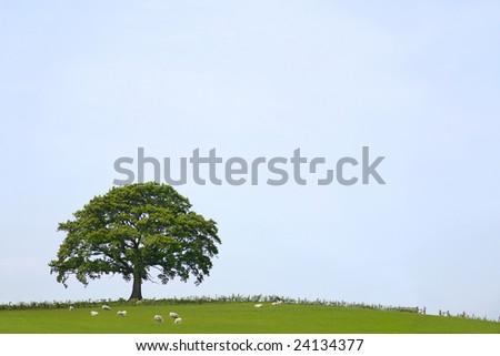 Oak tree in a field  in rural countryside in summer with sheep grazing and a pale blue sky to the rear.