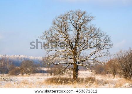 Oak tree in a winter snowy field at sunset - stock photo