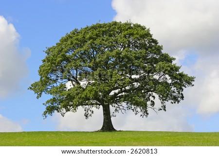 Oak tree in full leaf standing alone in a field in summer against a blue sky with cumulus clouds. - stock photo