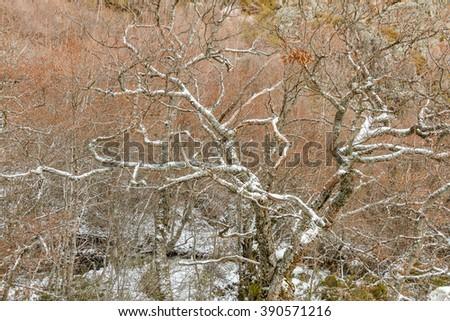 Oak tree in winter, covered with snow. Mountain range of Teleno, La Cabrera, Leon, Spain. - stock photo