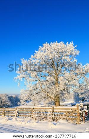 Oak tree in winter landscape - stock photo