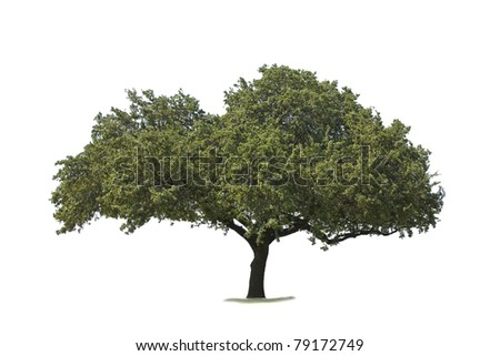Oak tree isolated on white - stock photo