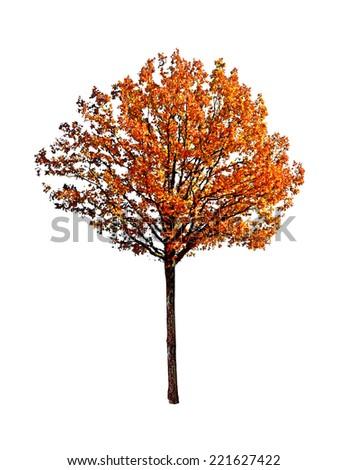 oak tree isolated on white background - stock photo