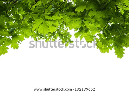 oak tree leaves isolated