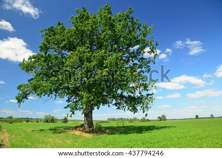 Oak tree on green field - stock photo