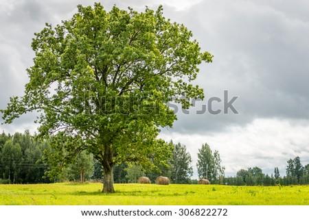 Oak tree on the green field in Latvia - stock photo
