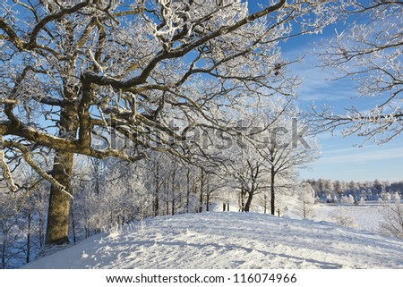 Oak tree with frost in winter landscape - stock photo