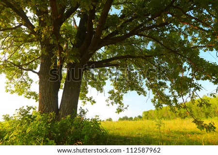 Oak tree with huge branches on summer meadow at sunny day - stock photo