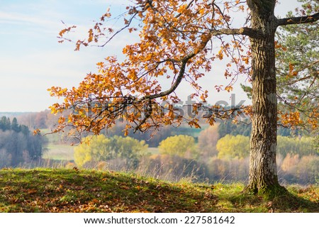 Oak tree with orange autumn leaves with colorful forest in background