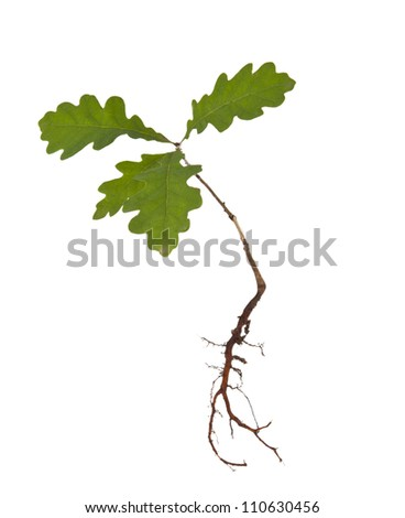Oak tree with roots isolated on a white background - stock photo
