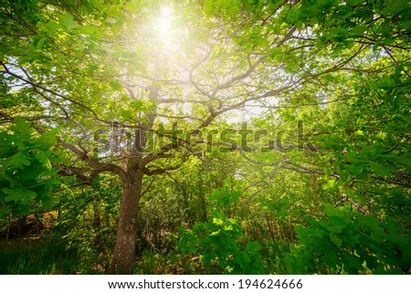 Oak tree with sunlight thru the green foliage and leafs, vivid wide angle image