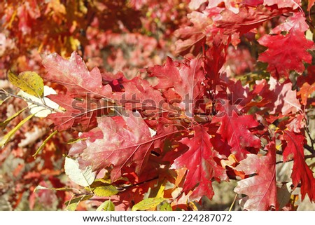 Oak twig with bright red leaves in fine autumn day - stock photo