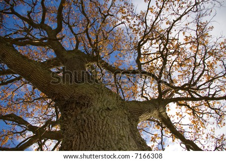 oak with yellow leaves from below - stock photo