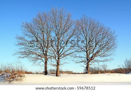 oak wood on winter field - stock photo