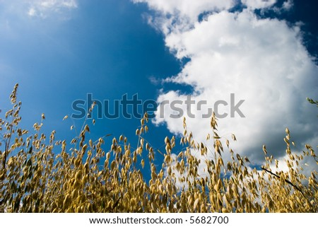 Oat ears over a blue sky with white clouds