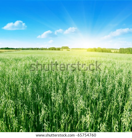 Oat field,blue sky and sun. - stock photo