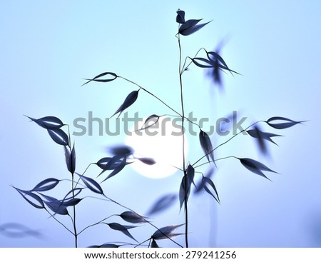 Oat plants and sun of dawn, colored image - stock photo