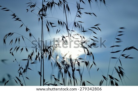 Oat plants with bluish color effect at sunrise - stock photo