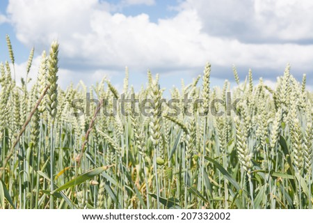 Oats field closeup, south Sweden in late June. - stock photo