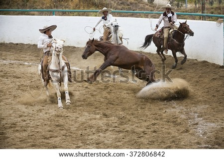 "OAXACA, MEXICO. DECEMBER 20, 2015. A wilde horse is thrown with the laso, this is ""manganas"". As part of Charreria Mexican National Sport"