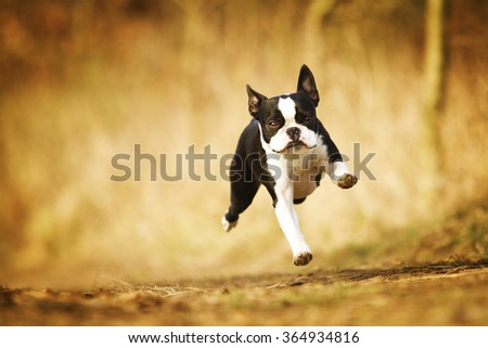 obedient, happy, beautiful, healthy and young black boston terrier or french bulldog puppy running fast on a dirt road, flying - stock photo