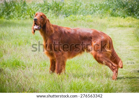 Obedient nice irish setter standing and waiting - stock photo