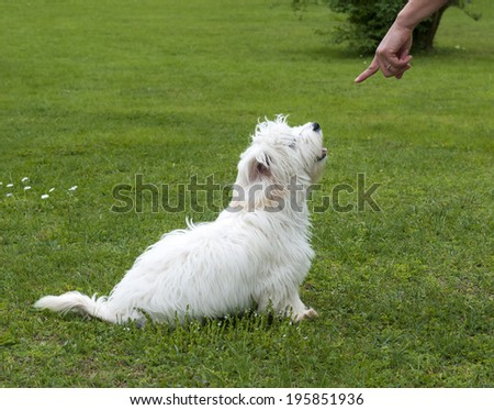 obedient puppy dog maltese breed