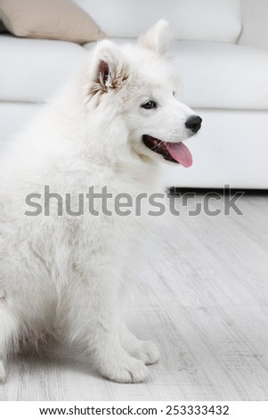 Obedient Samoyed dog sitting on wooden floor and white sofa on background - stock photo