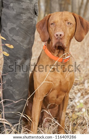 obedient vizsla dog sitting at hunters heel - stock photo