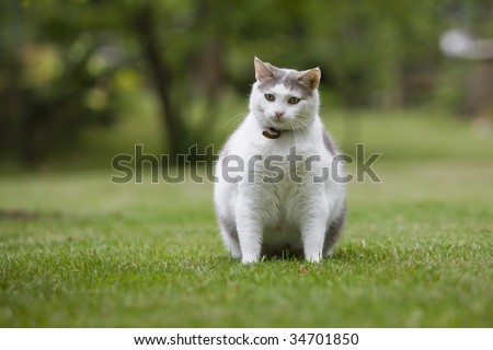 Obese cat looking toward hidden snacks in lawn