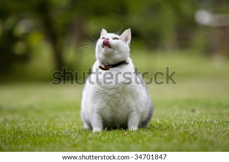 Obese cat on lawn looking upward and pretending to be hungry