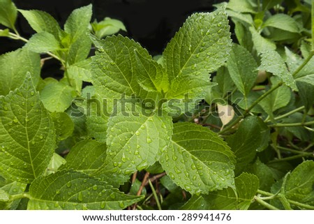 object,nature,leaves,hortensia