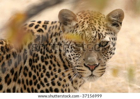 Observed By A Leopard: Namibia - Africa - stock photo