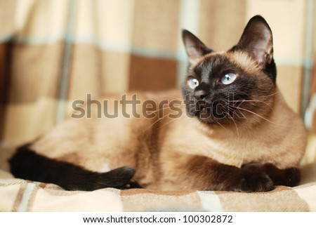 observer blue eyes siamese cat - stock photo