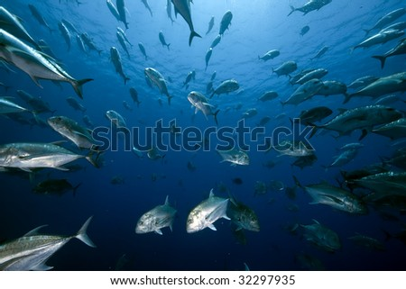 ocean and giant trevally