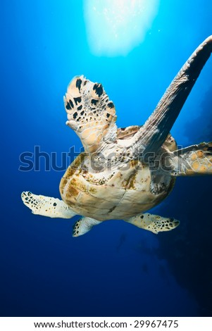 ocean and male hawksbill turtle - stock photo