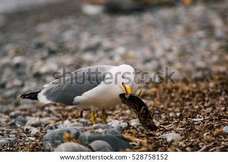 Ocean white bird catching and start eating a fish on a stone beach