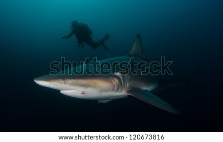 Oceanic Blacktip shark with a diver - stock photo