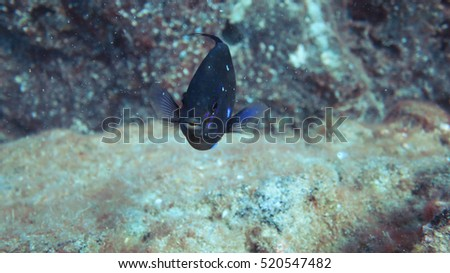 oceanic blue fish