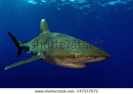 Oceanic White Tip in Clear Blue Water - stock photo
