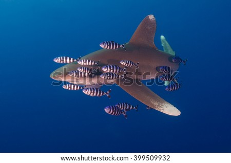 Oceanic white tip shark in blue water in the Red Sea - stock photo