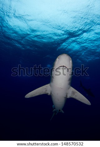 Oceanic Whitetip in the Bahamas with Bottomless Blue Water - stock photo