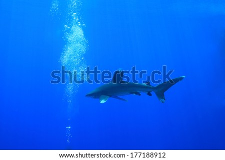 Oceanic whitetip shark and scuba divers in the red sea  - stock photo