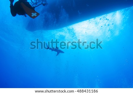 Oceanic whitetip shark in blue, Red sea, Egypt.