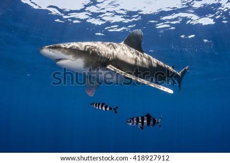 Oceanic whitetip shark with pilot fish off Cat Island, Bahamas