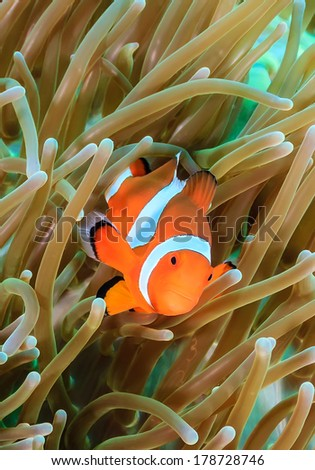 Ocellaris Clownfish at Crocodiles - stock photo
