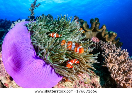 Ocellaris Clownfish on a coral reef - stock photo