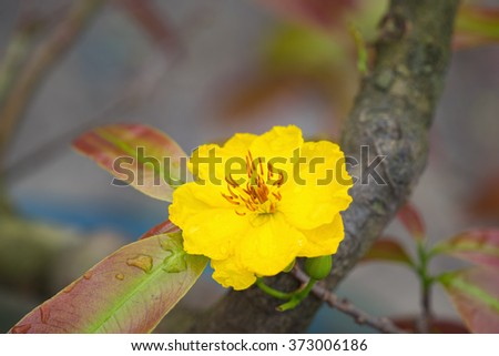 Ochna integerrima flower, the symbol of Vietnamese traditional lunar New Year together with peach flower. Mai flower in Vietnamese - stock photo