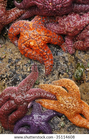 Ochre Sea Stars Clustered on Tidepool Rocks - stock photo