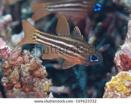 Ochre-striped cardinalfish in Bohol sea, Phlippines Islands - stock photo